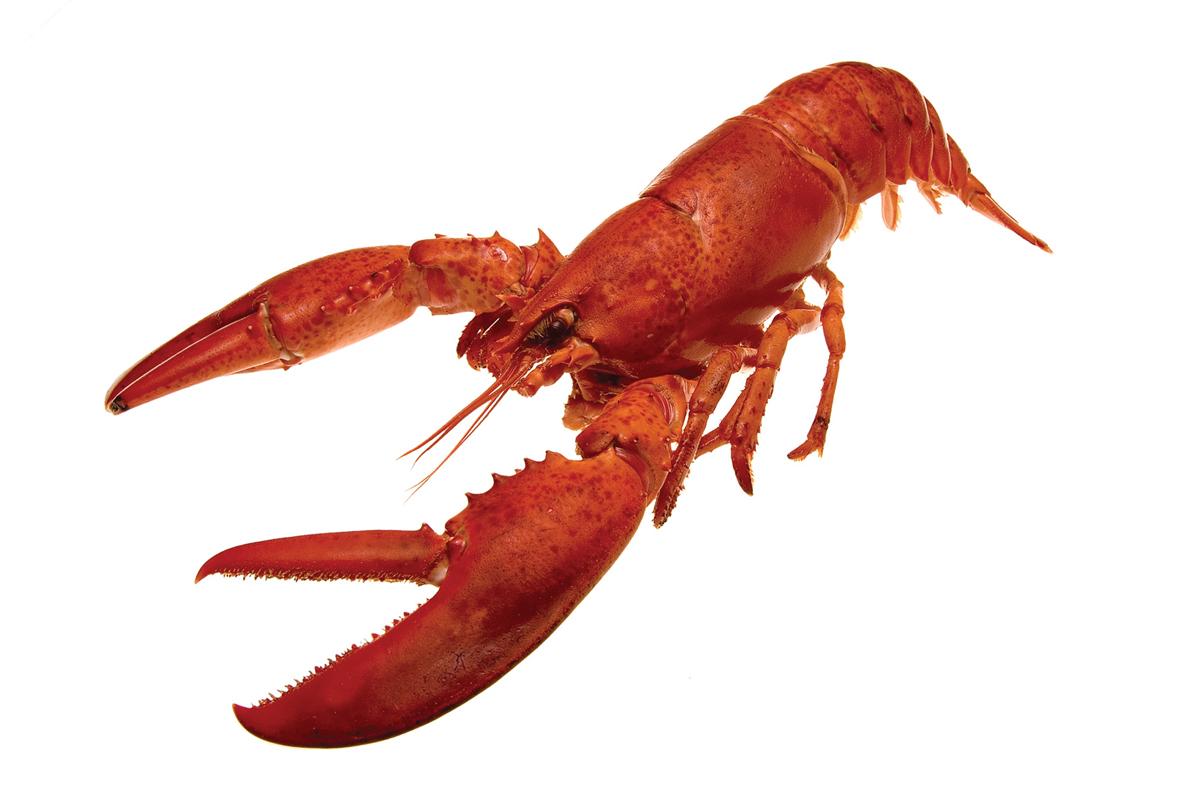Le sexe dans le homard